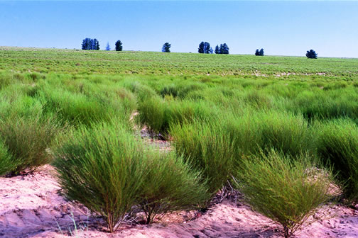 rooibos bush grown Cederburg South Africa