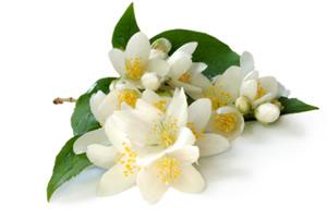 jasmine-flowers
